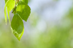 листья березы Стоковое Изображение RF
