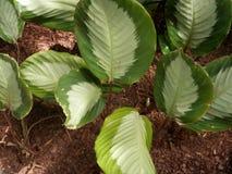 Листья белизны и зеленого цвета ботанического сада Стоковые Изображения RF