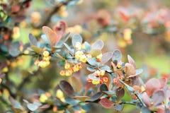 Листья Брайна, желтого цвета и зеленого цвета барбариса куста Стоковое Изображение RF