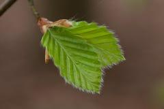 листья бука близкие вверх Стоковые Изображения RF