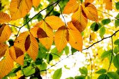 Листья бука в осени стоковая фотография