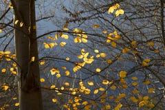 листья бука осени Стоковое Изображение