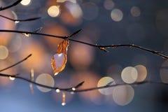 Листья бука с падениями росы Стоковые Изображения