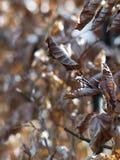 листья бука Стоковое Фото