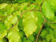 Листья бука Стоковая Фотография