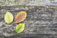 Листья бука Стоковые Фотографии RF