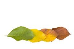 листья бука Стоковая Фотография RF