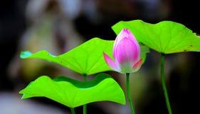 Листья бутона и зеленого цвета лотоса Стоковые Фотографии RF