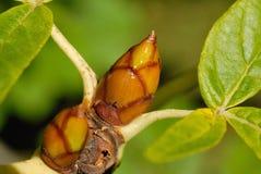 листья бутонов Стоковое Фото