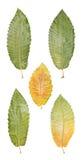 Листья вала каштана Стоковое Изображение RF