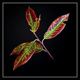 Листья вербы Стоковые Фотографии RF