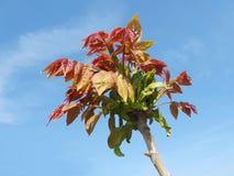Листья весны красные дерева фисташки Стоковая Фотография