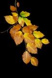 листья ветви осени Стоковые Изображения RF