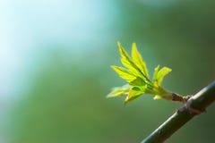 листья ветви свежие новые Стоковая Фотография RF