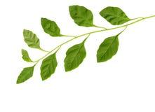 листья ветви стоковое изображение rf