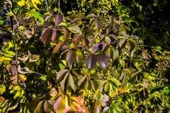 Листья взбираясь завода стоковое фото rf