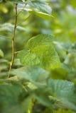 Листья вина Стоковое Изображение RF