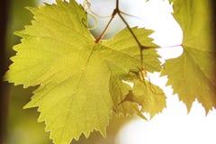 Листья виноградины в backlight стоковая фотография rf