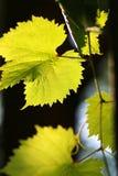 Листья виноградины в backlight стоковые фотографии rf