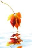 листья виноградины одичалые Стоковые Изображения