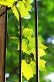 Листья виноградины прикрепленные к перилам окна стоковые фото