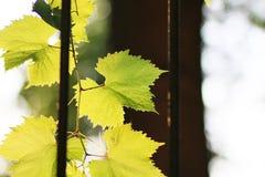 Листья виноградины прикрепленные к перилам окна стоковые фотографии rf