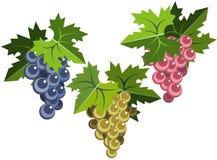 листья виноградины пуков Стоковые Изображения