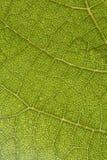 листья виноградины Стоковые Фото