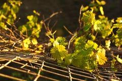 Листья виноградины Стоковая Фотография RF