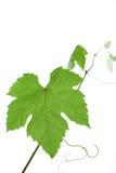 листья виноградины Стоковое Изображение RF