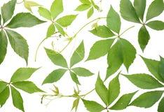 листья виноградин установили одичалым Стоковая Фотография RF