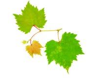 Листья виноградины изолированные на белой предпосылке Стоковые Изображения RF
