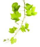 Листья виноградины Стоковые Изображения RF