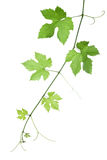 листья виноградины Стоковое фото RF