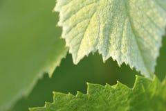 Листья виноградного вина - предпосылка Стоковые Фотографии RF