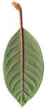 листья вишни зеленые Стоковое Изображение RF