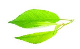 Листья вишни стоковые фото