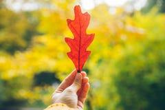 Листья владением руки женщины красивые красные дуба стоковые изображения