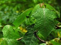 листья влажные Стоковая Фотография
