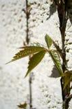 Листья вползая вверх по стене Стоковые Изображения