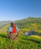 Листья выборов женщины подборщика чая Стоковое Изображение RF