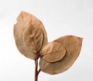 листья высушенные заливом Стоковые Фотографии RF
