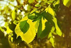 Листья вяза в красивое подсвеченном. Стоковые Изображения RF