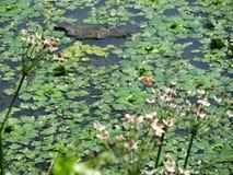 Листья в воде Стоковые Фотографии RF