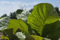 Листья в Солнце Стоковые Изображения RF