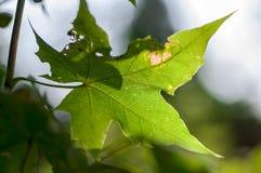 Листья в Солнце Стоковое фото RF