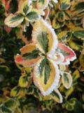 Листья в льде Стоковая Фотография