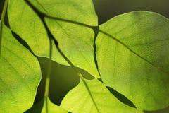 Листья в backlight, отмелом фокусе Стоковые Изображения RF
