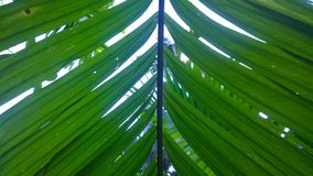 Листья гайки ареки Стоковые Изображения