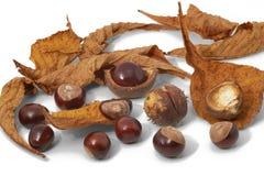 Листья, гайки и раковины конских каштанов Стоковое Изображение
